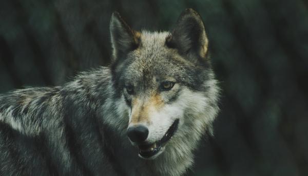 Lobo horizontal