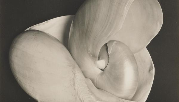 Shell, 6S - Edward Weston