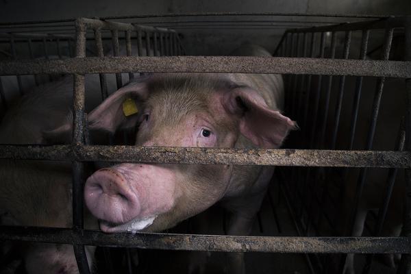 macrogranjas cerdos industrial espacio