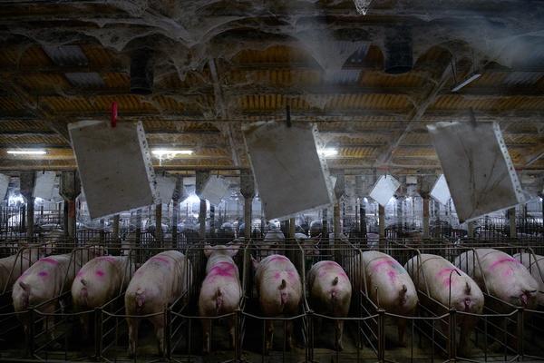 Granjas cerdos sala de gestación
